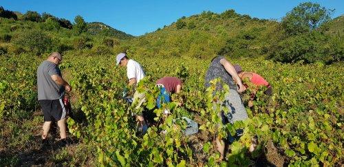 Vendanges de rosé, début septembre 2020