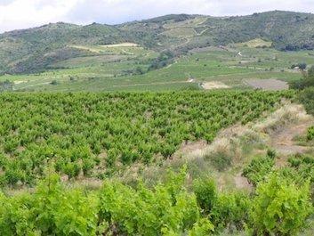 Paysage des Corbières, vignes au premier plan