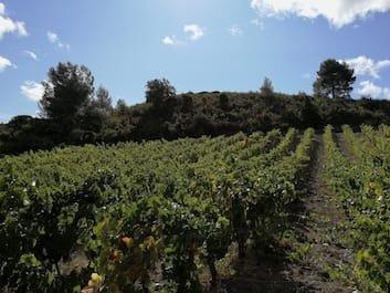 vigne dans les Corbières