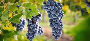 grappes de raisin de cépage grenache noir
